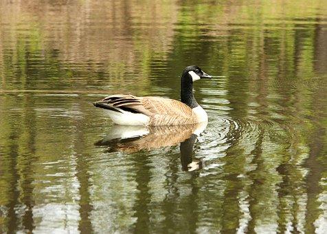 Pond, Goose, Bird, Animal, Nature, Water, Wildlife
