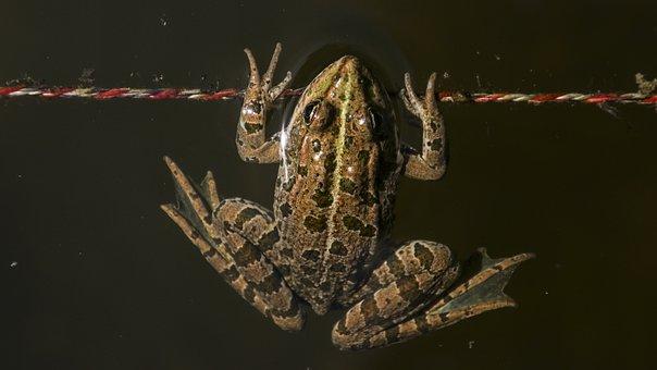 Frog, Animal, Toads, Nature, Water, Aquatic Animal