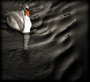 Bird, Swan, Orange, Water, Animal, Wildlife, Swimming