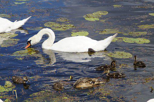 Swans, Eat, Waterfowl, Beautiful, Animals, White