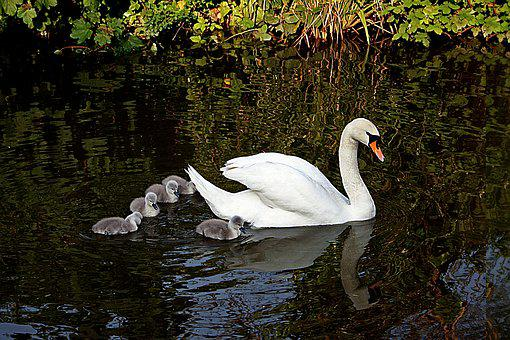 Swan, Bird, Cygnets, Baby, Young, Wildlife, Nature