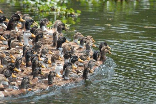 Duck, Herd, Band, Birds, River, Pond, Swimming, Set