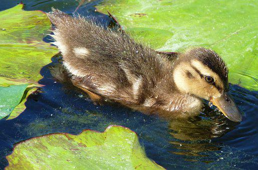Duck, Ducky, Chicks, Water Bird, Bill, Water, Nature