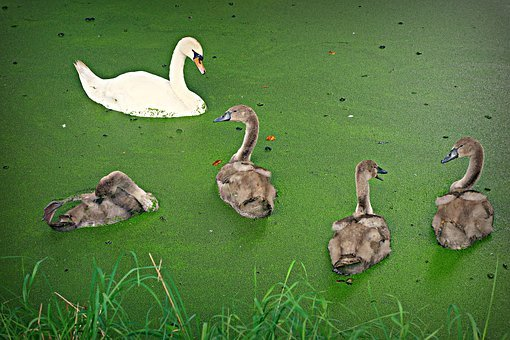 Swan, Cygnet, Bird, Waterbird, Chick, Young, Family