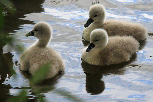 Swan, Babies, Chicks, Swimming, Birds, Lake, Water