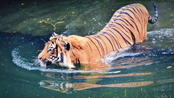 Animal, Cat, Beast, Mammal, Color, Tiger, Big Tiger