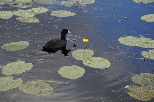 Coot, Ralle, Water Bird, Bird, Animal, Water, Lake