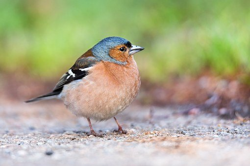 Chaffinch, Finch, Bird, Nature, Fringilla Coelebs
