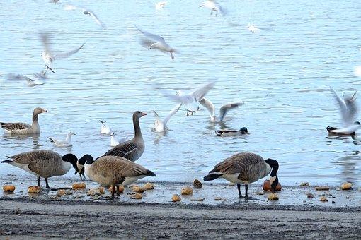 Birds, Water, Bird, Duck, Water Bird, Seagull, Food