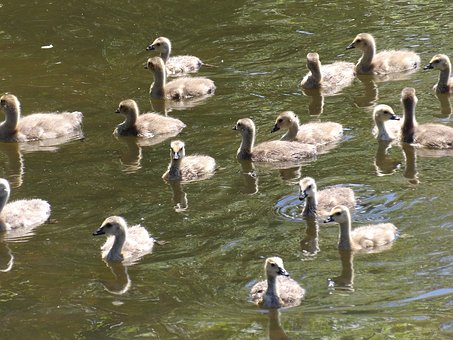 Goslings, Geese, Pond, Lake, Swimming, Young, Birds