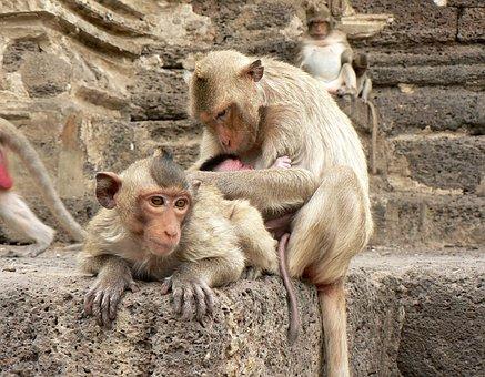 Thailand, Monkeys, Lampang, Guenon, Family, Maternity