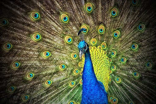 Indian Peafowl, Peacock, Animal, Iridescent, Colorful