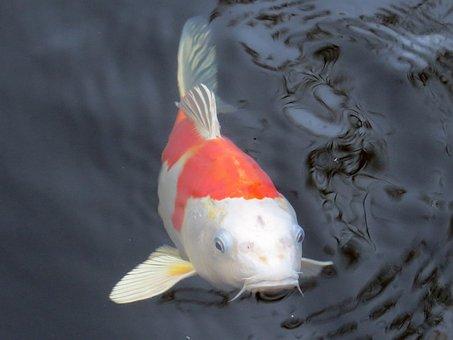 Koi, Koi Carp, Fish, Pond, Water, Carp, Swim