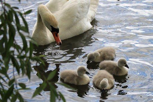 Swan, Babies, Chicks, Swimming, Birds, Lake, Water