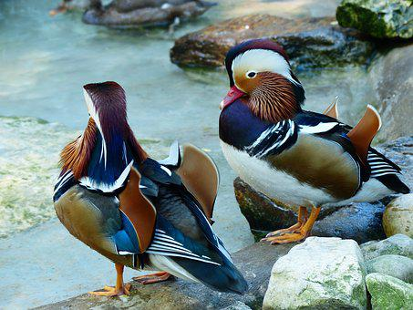 Mandarin Ducks, Duck, Aix Galericulata, China
