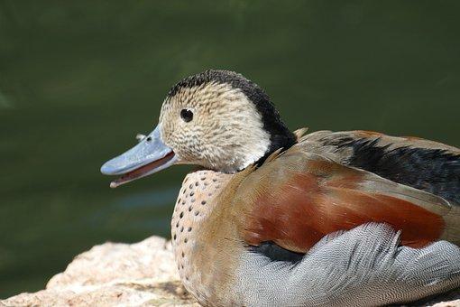 Mandarin Ducks, Pond, Water Bird, Duck, Duck Bird