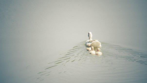 Duck, Parent, Parenting, Mom, Family, Bird, Nature