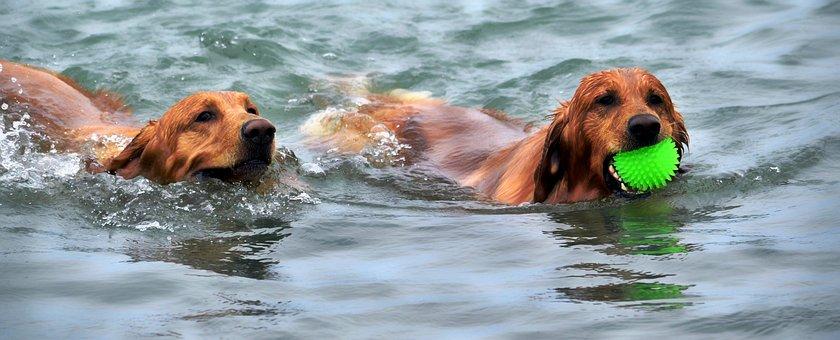 Dogs, Swimming, Water, Pet, Swim, Beach, Exercise, Wet