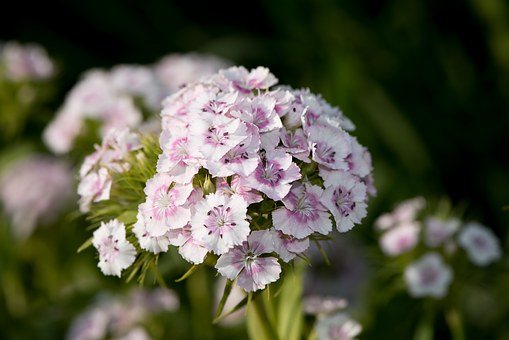 Sweet William, Carnation, Carnation Family, Pink, White