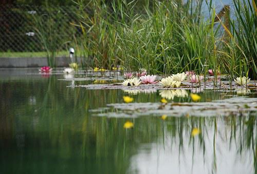 Swimming Pond, Bioteich, Pond, Water Lily, Water Rose
