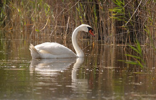 Lake Neusiedl, Burgenland, Swan, Reed, Lake, Bank