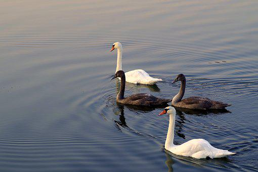 Swans, Mature, Young, Gray, White, Four, Family, River