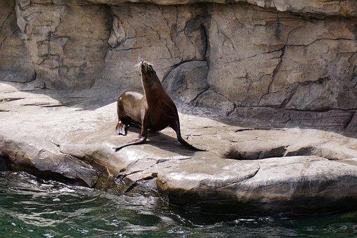 Robbe, Water, Stone, Sea, Seal, Zoo, Sea Lion, Animal