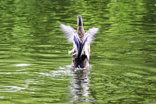 Duck, Start, Free As A Bird, Wing, Fly, Anatidae, Bird