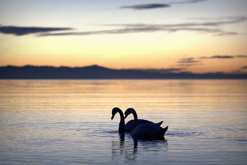 Summer, Summer Holiday, Swans, Swan, Back Light, Lake