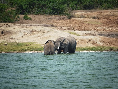 Elephant, Swim, Play, Uganda, Refreshment, Afternoon