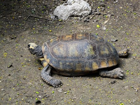 Turtle, Reptile, Shell, Wildlife, Tortoise, Nature