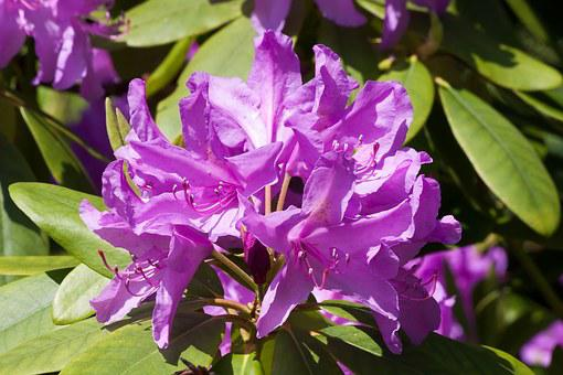 Rhododendron, Traub Notes, Doldentraub, Inflorescences