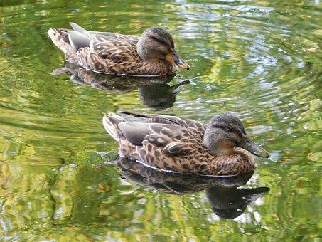 Ducks, Swim, Water Bird, Waterfowl, Two Ducks