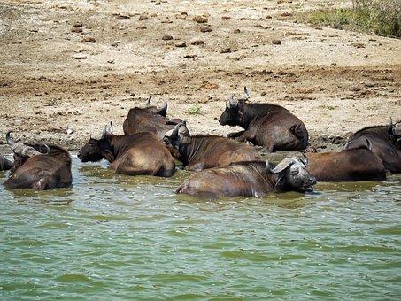 Buffalo, Swim, Doze, Uganda, Watering Hole, Animals