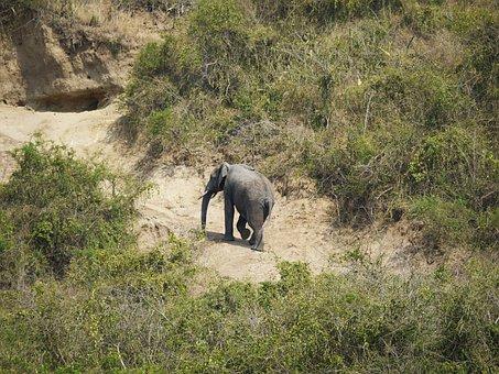 Elephant, Uganda, Rise, Way Back, Steep, Afternoon