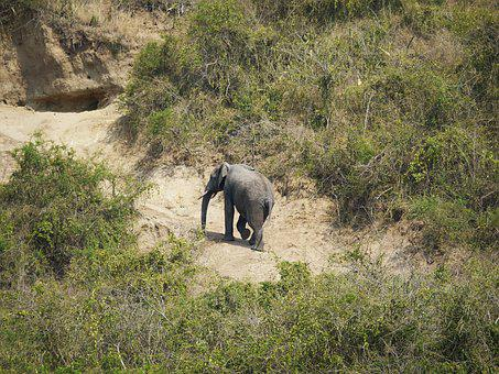Elephant, Uganda, Rise, Way Back, Steep, Afternoon