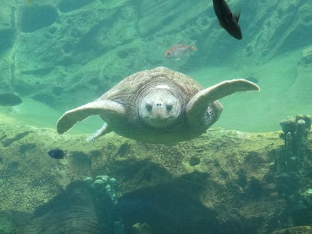 Turtle, Underwater, Wildlife, Swimming, Reptile