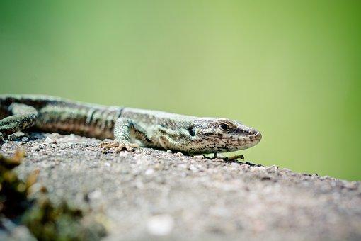 Wall Lizard, Reptile, Real Lizard, Lizard