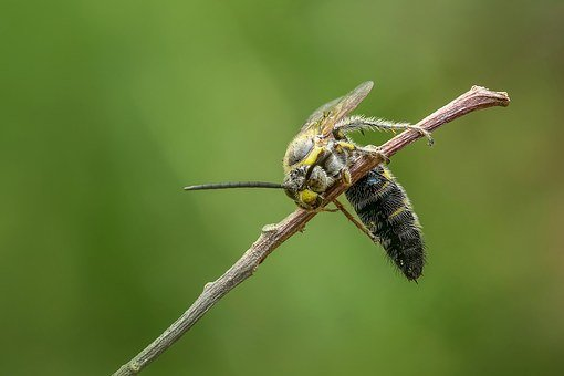 Wasp, Hornet, Insect, Macro, Animal, Bug, Sting, Bee