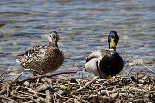 Ducks, Mallards, Birds, Duck Bird, Water Bird, Pair