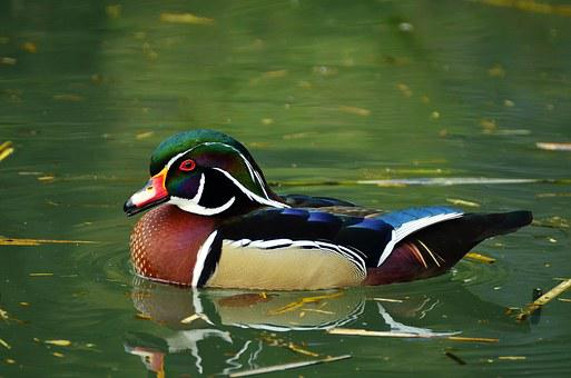 Duck, Mandarin Ducks, Aix Galericulata, Water Bird