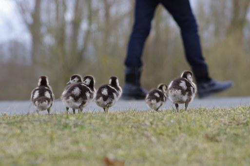 Nilgans, Birds, Poultry, Water Bird, Wild Goose, Cute