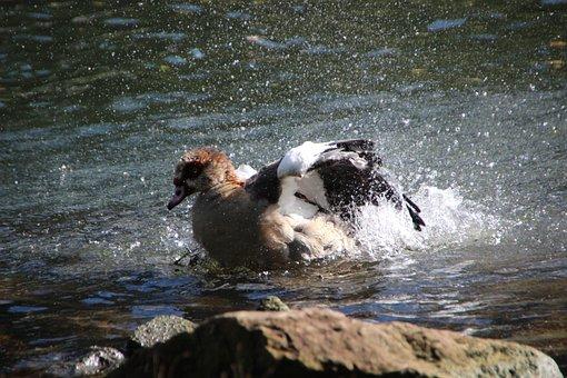 Nilgans, Bird, Water Effect, Bad, Water, Swim, River