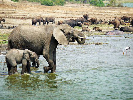 Elephant, Uganda, Joy, Water, Animals, Baby, Young