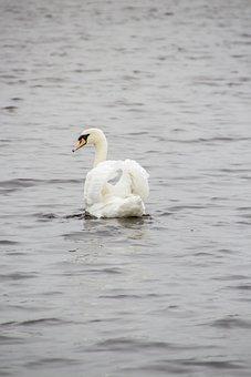 Swan, Animal, Lake, Bird, Water, Nature, Beach