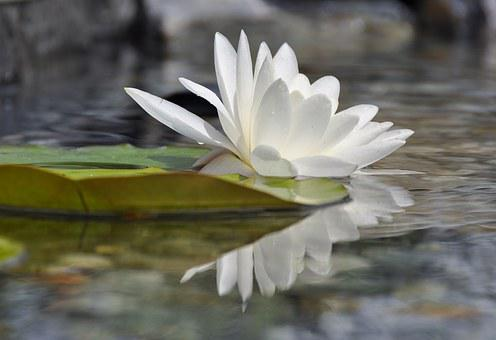 Water Lily, Water Rose, Mirroring, Aquatic Plant