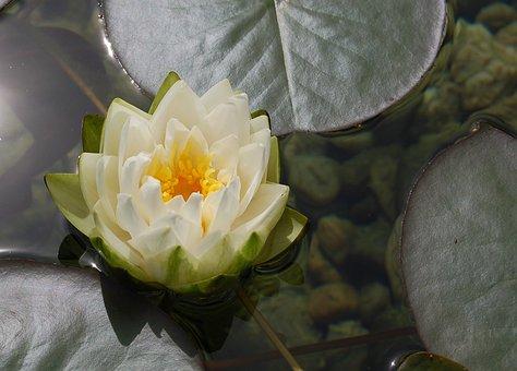 Water Lily, Water Rose, Aquatic Plant, Lake Rose, Pond