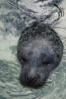 Seal, Head, Robbe, Swim, Water, Mammal, Zoo, Snout