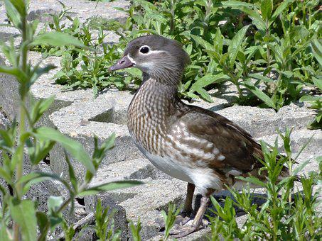 Duck, Bird, Water, Nature, Wildlife, Fauna, Wild, Beak