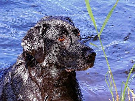 Dog, Labrador, Animal, Pet, Bitch, Water, Wet, Swim